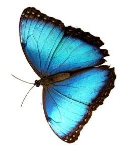 butterfly image 3 258x300 - butterfly-image-3