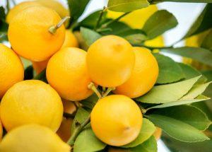 lemons in a tree closeup 300x215 - lemons-in-a-tree-closeup