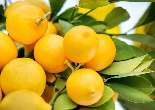 lemons in a tree closeup - Personalized Coaching