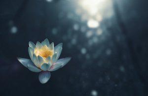 lotus flower 300x195 - lotus-flower