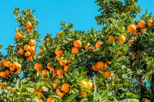 oranges in a tree 300x200 - oranges-in-a-tree